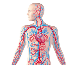 دانلود پاورپوینت دستگاه گردش خون